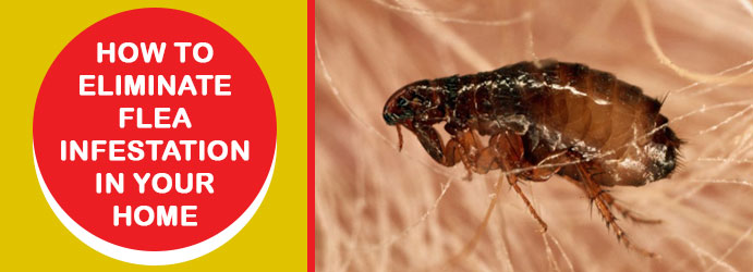 How to Eliminate Flea Infestation in Your Home