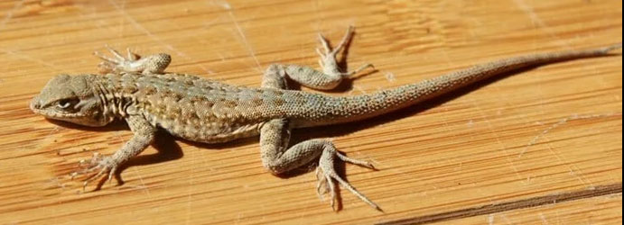 How to Get Rid of Lizards Around Your House